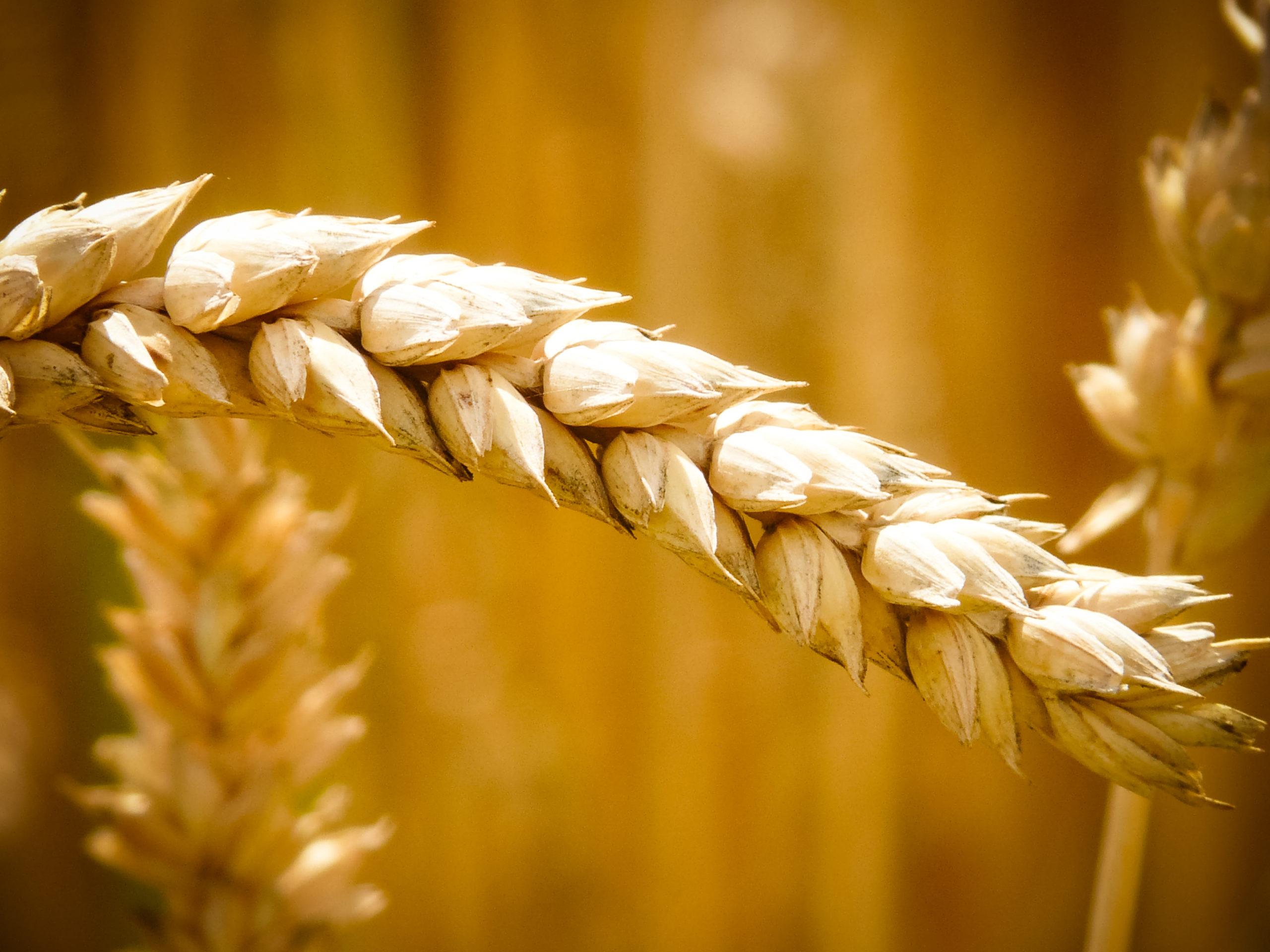 Die wichtigsten Getreidearten.